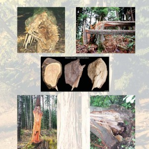 preliminary_species_profiles_for_tree_failure_assessment